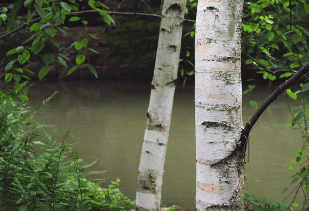 Japanese Garden Birches