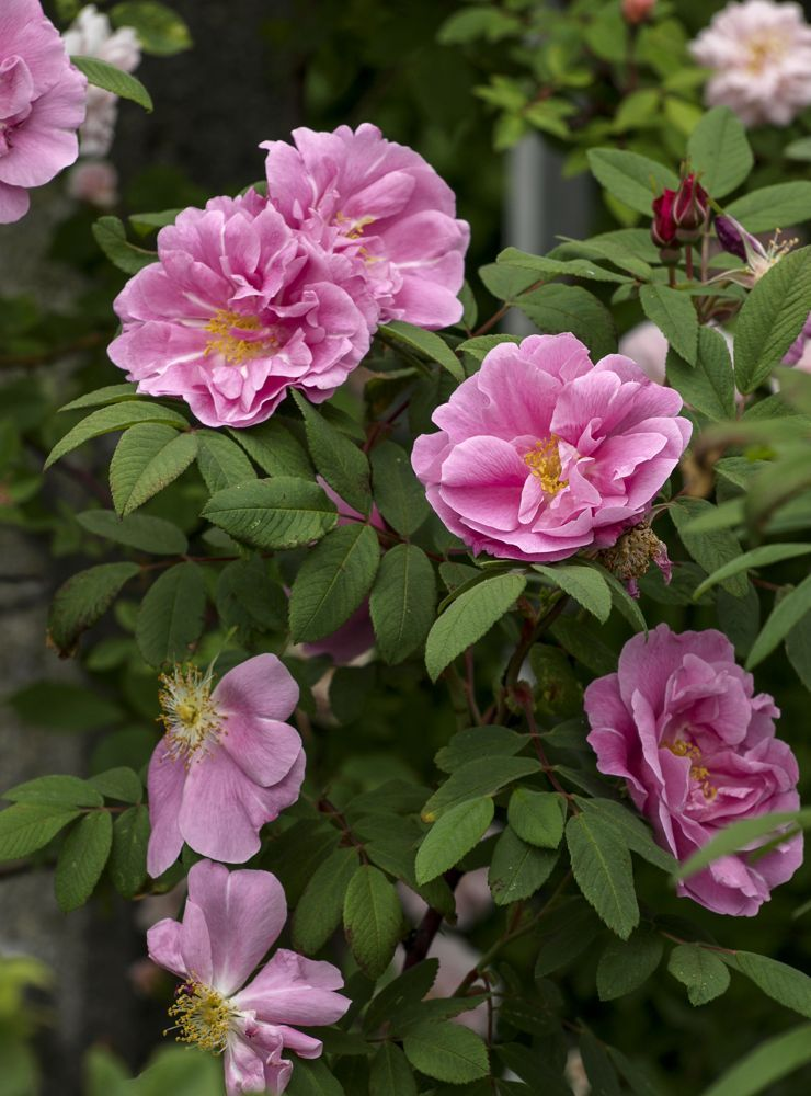 Therese Bugnon Rose